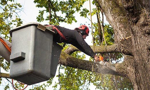 Certified Arborist doing the actual work
