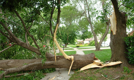 Fallen Tree Trunk During Our Storm Damage Cleanup