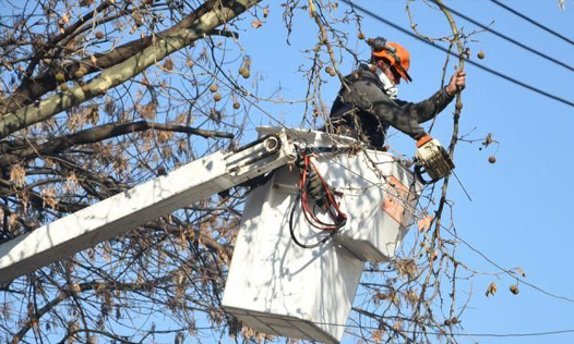 A Tree Trimming And Tree Pruning Expert Performing His Job