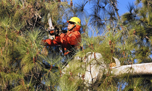 A Professional Tree Trimming and Tree Pruning Staff Performing the Work